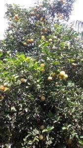 Zitronenbaum im Winter